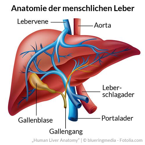 Funktion der Leber